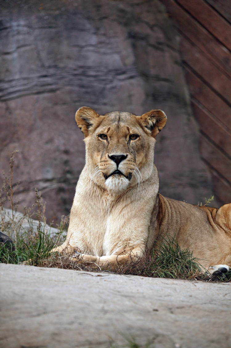 Lioness Relaxing - knelstrom | ello