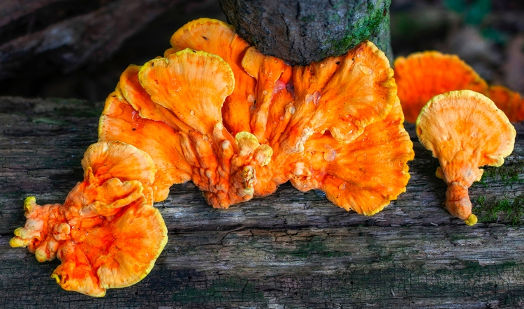 fungus oozes downed log forest  - docdenny | ello