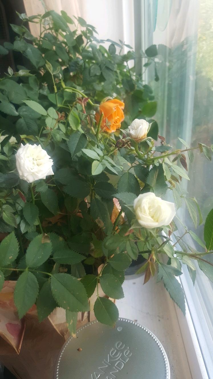 Roses October... Des Moines, WA - littleduffer20   ello