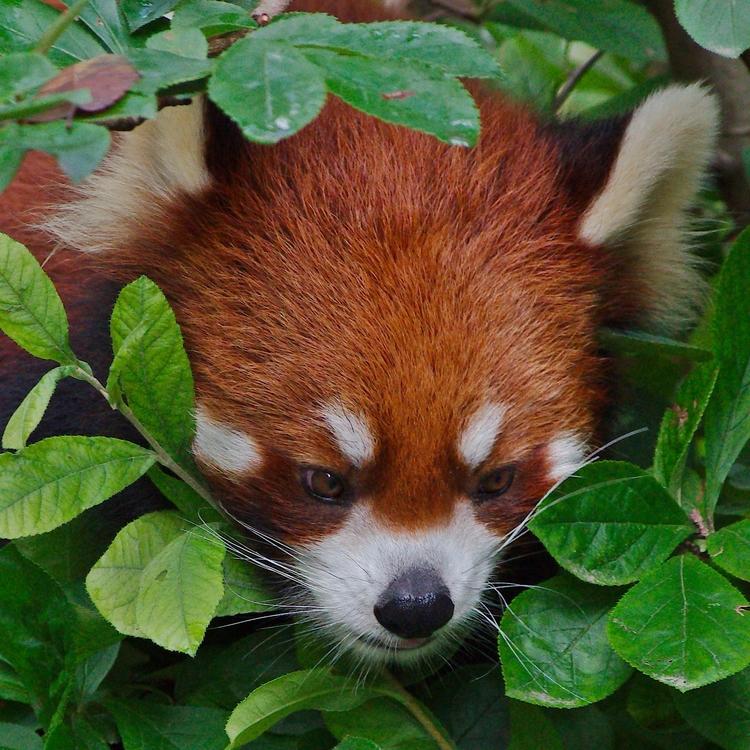 Red panda - animals, photography - chetkresiak | ello
