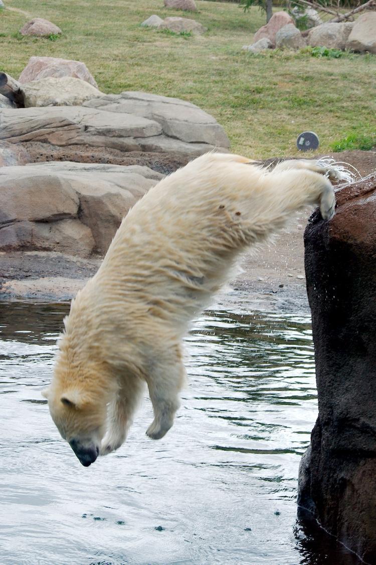 Diving polar bear - animals, photography - chetkresiak | ello