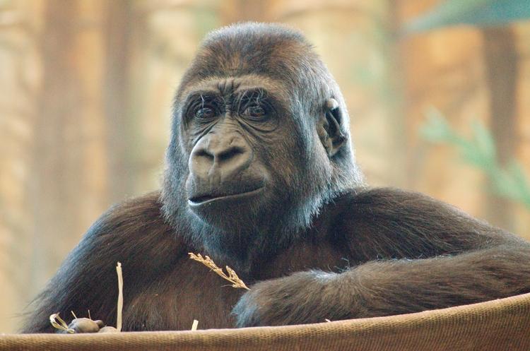 Gorilla - animals, photography - chetkresiak | ello