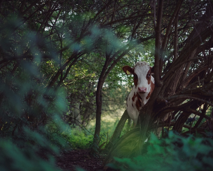 Secret Garden - animals, color, cow - klaasphoto | ello