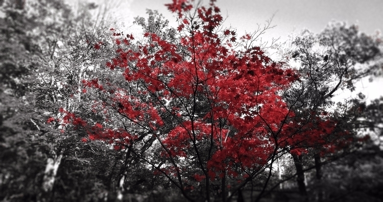 Red Japanese Tree ⁽ᵀᵃᵏᵉᶰ ʷᶦᵗʰ ᵗ - wvw001 | ello