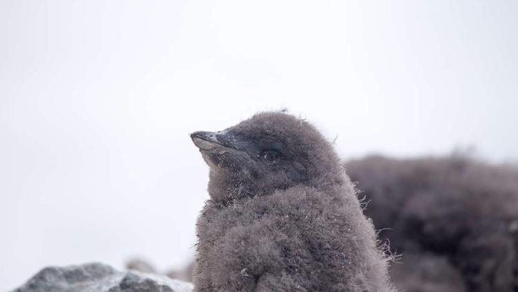 De una colonia de 40.000 pingüi - codigooculto | ello