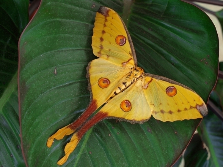 Comet moth giant silk native ra - thebutterflybabe | ello