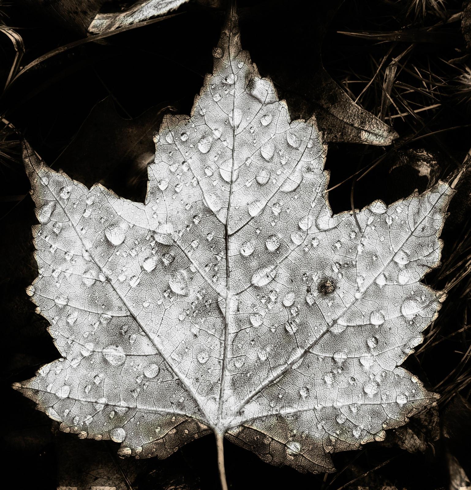sinister maple leaf  - monochrome - docdenny   ello