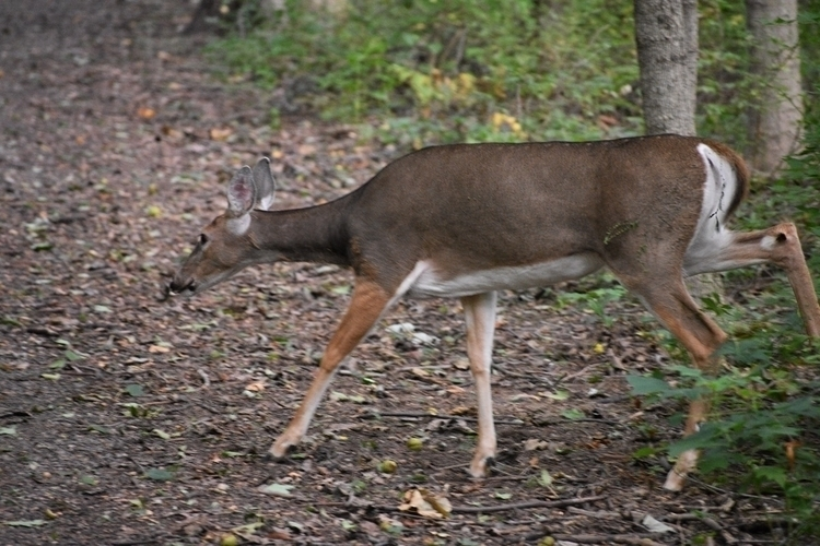 White tail deer Mounds State Pa - pictorific | ello