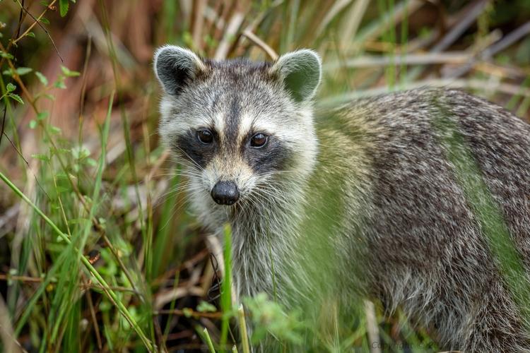 Raccoon Audubon Corkscrew Swamp - bjt3 | ello
