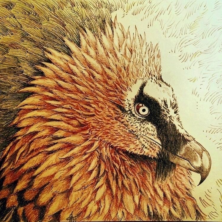 Bearded Vulture sketch. Pen col - erycmoss | ello