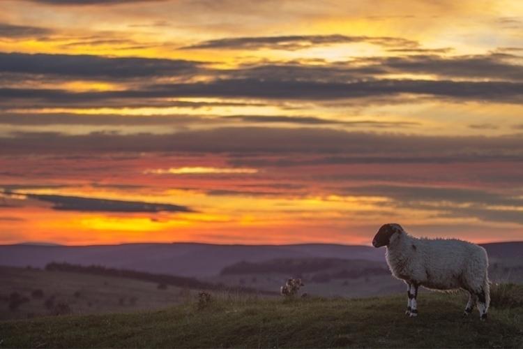 Sheep views sunsets Wensleydale - jamesallinson | ello