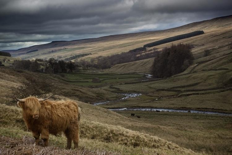 Highland Cow stormy Wensleydale - jamesallinson | ello