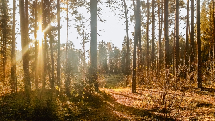 forest, trees, sun, lithuania - beheroght | ello