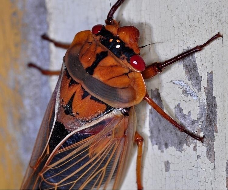 Masked Devil Cicada native Aust - thebutterflybabe   ello