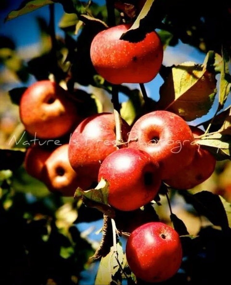 fresh crisp Apple Tree.:apple - apples - natureisfree | ello