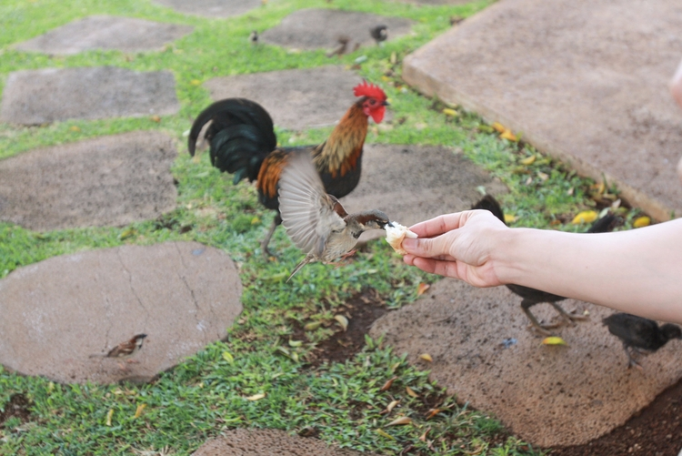 Feeding Birds Chickens Kauai, H - candychann | ello