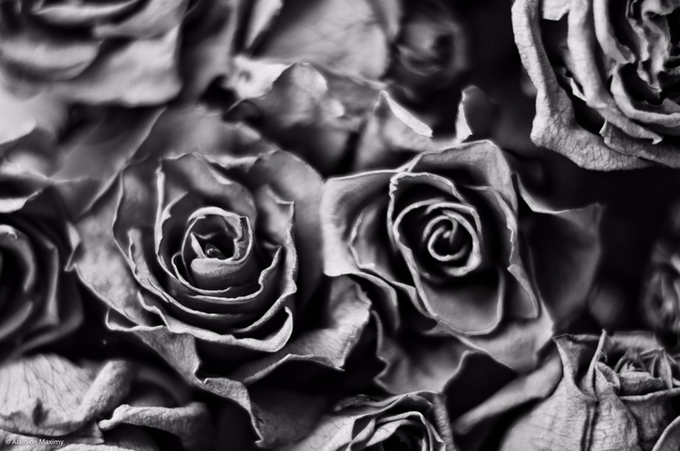 Dry Roses [2 - rose, roses, flowers - maximy | ello