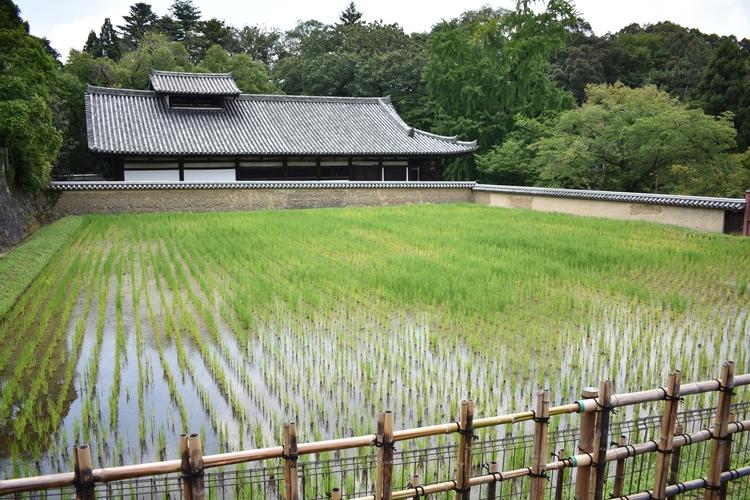 Rice, Nara 2017. Nikon D3400 - ellophotography - tallas | ello