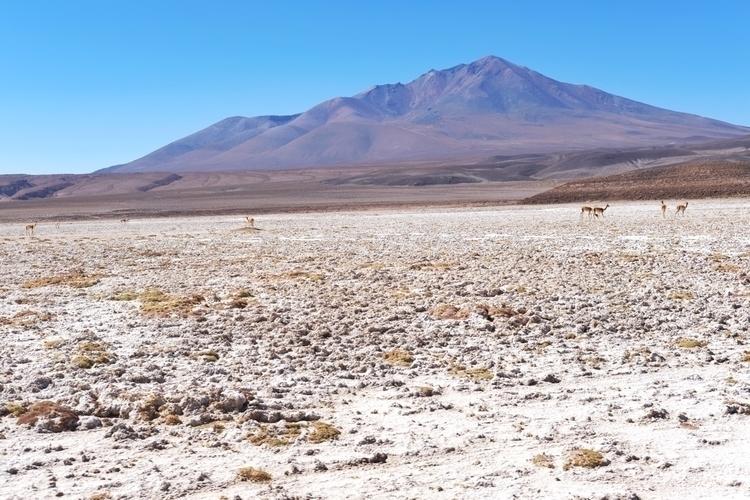 Vicuñas (eine kleine, wild lebe - weltfarben   ello