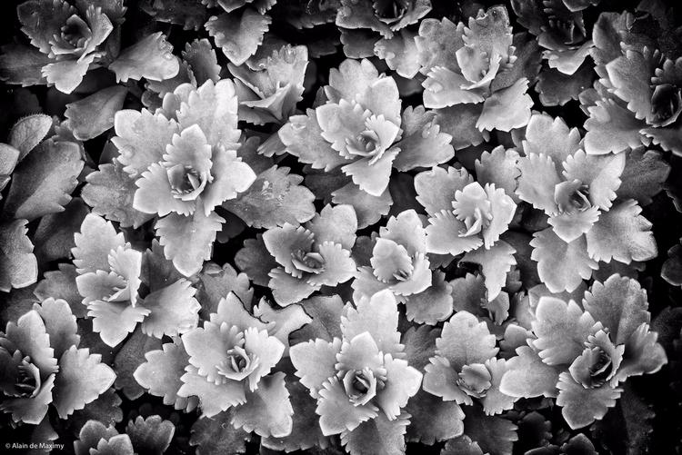 Succulent Crassula Clover [2 - plant - maximy   ello
