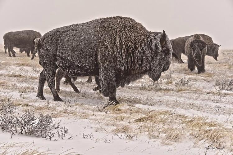 King Herd, Cattle Bison Ranch,  - wendynuttall | ello