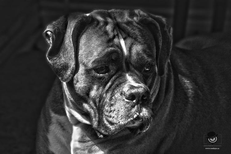 Magnus magnificent Boxer Doggie - ladygreen | ello