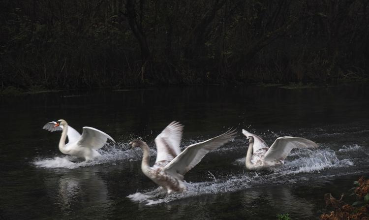 Swans landing - River Itchen Wi - neilhoward | ello