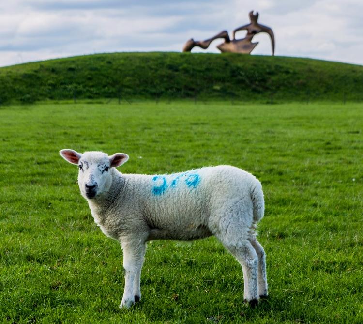 Portrait sheep Henry Moore Foun - notabene | ello