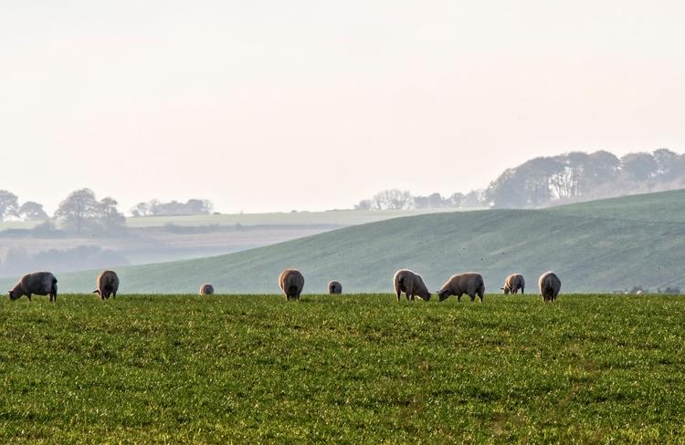 Sheep - love sheep grazing Hamp - neilhoward   ello
