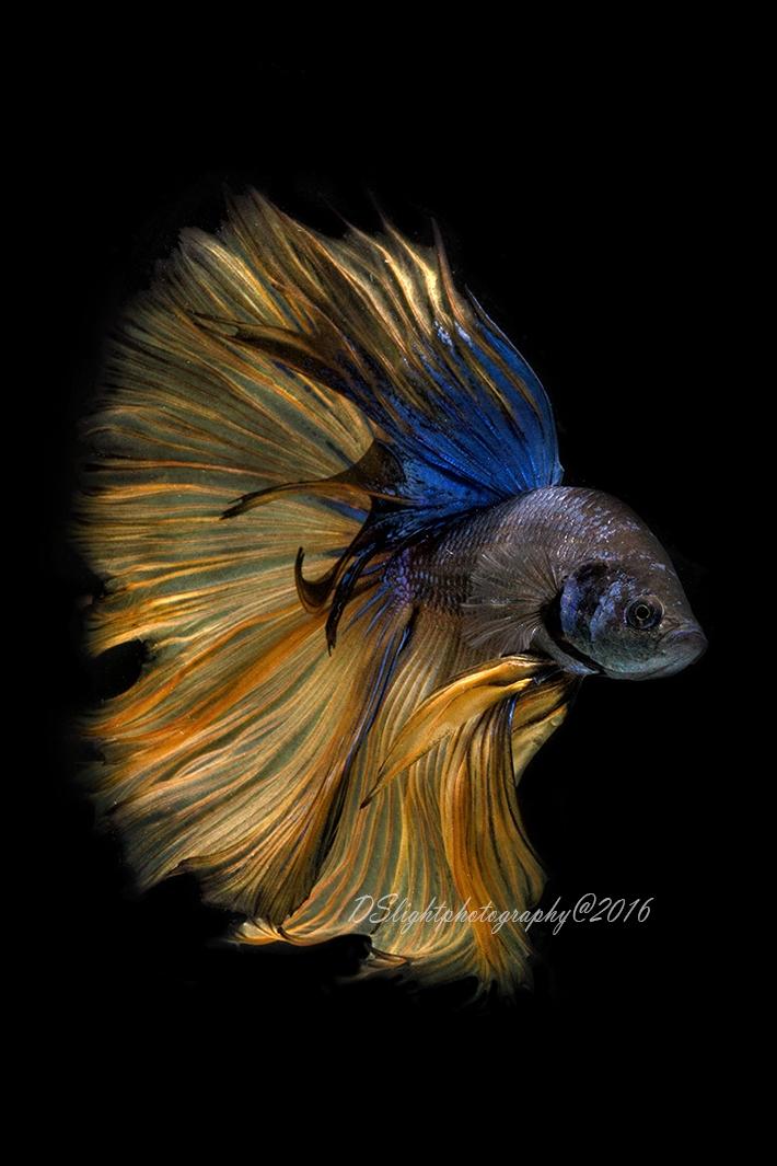 Beauty fish - actyon   ello