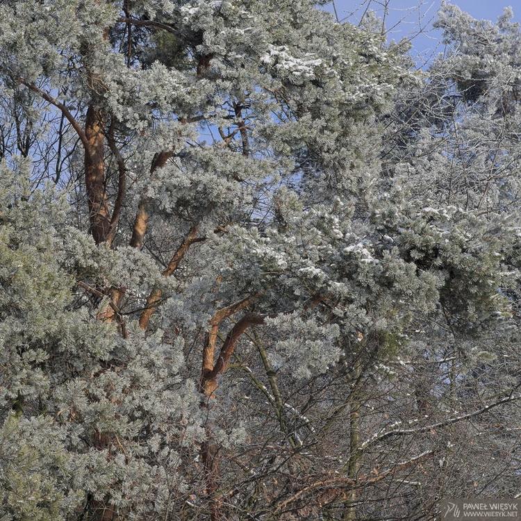 Pinus Sylvestris (Scots Pine - photography - pawelwiesyk | ello