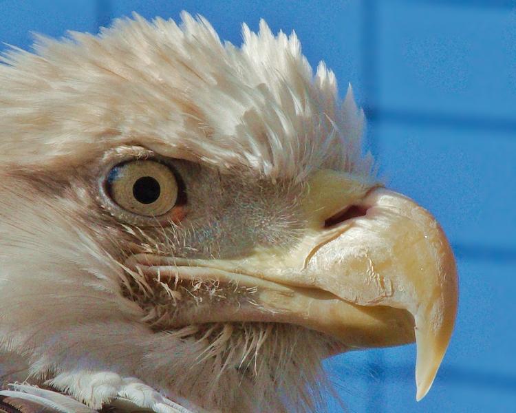 Bald eagle - birds, nature, photography - chetkresiak | ello