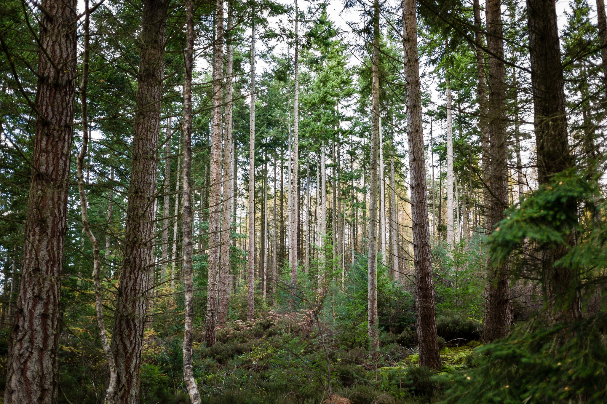 forest, winter, scotland, trees - dfcf | ello