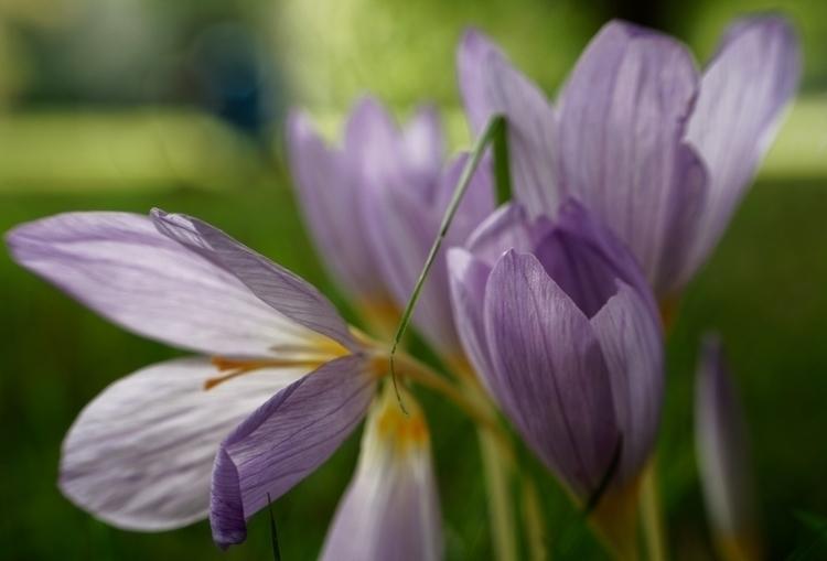 Colchis - photography, flower, macro - marcushammerschmitt | ello
