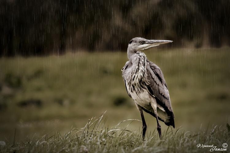 Blue heron rain - artmen | ello