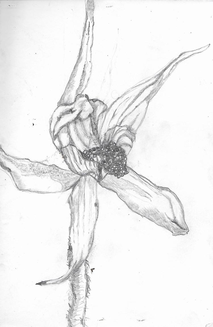 Spider Orchid - krickenwood | ello