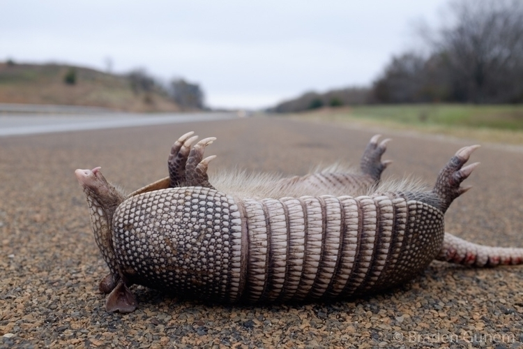 dead dinosaur roadside; reached - bradengunem | ello