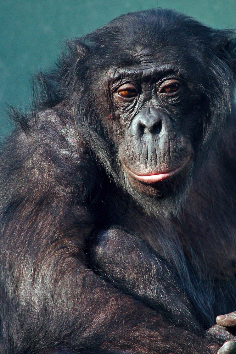 Bonobo - animal, photography - chetkresiak | ello
