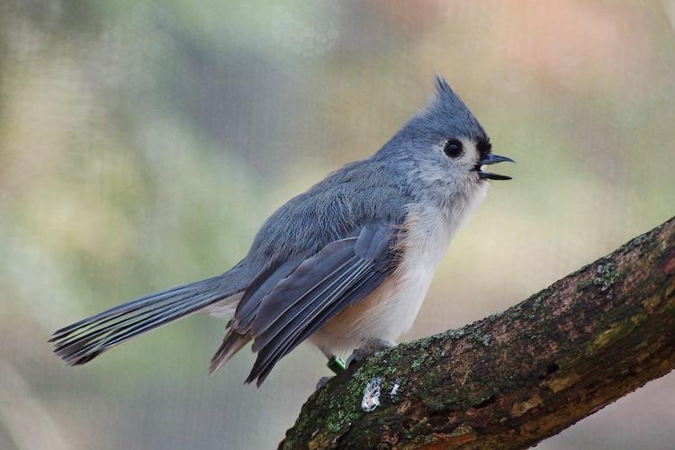 Tufted titmouse - bird, birds, nature - chetkresiak | ello