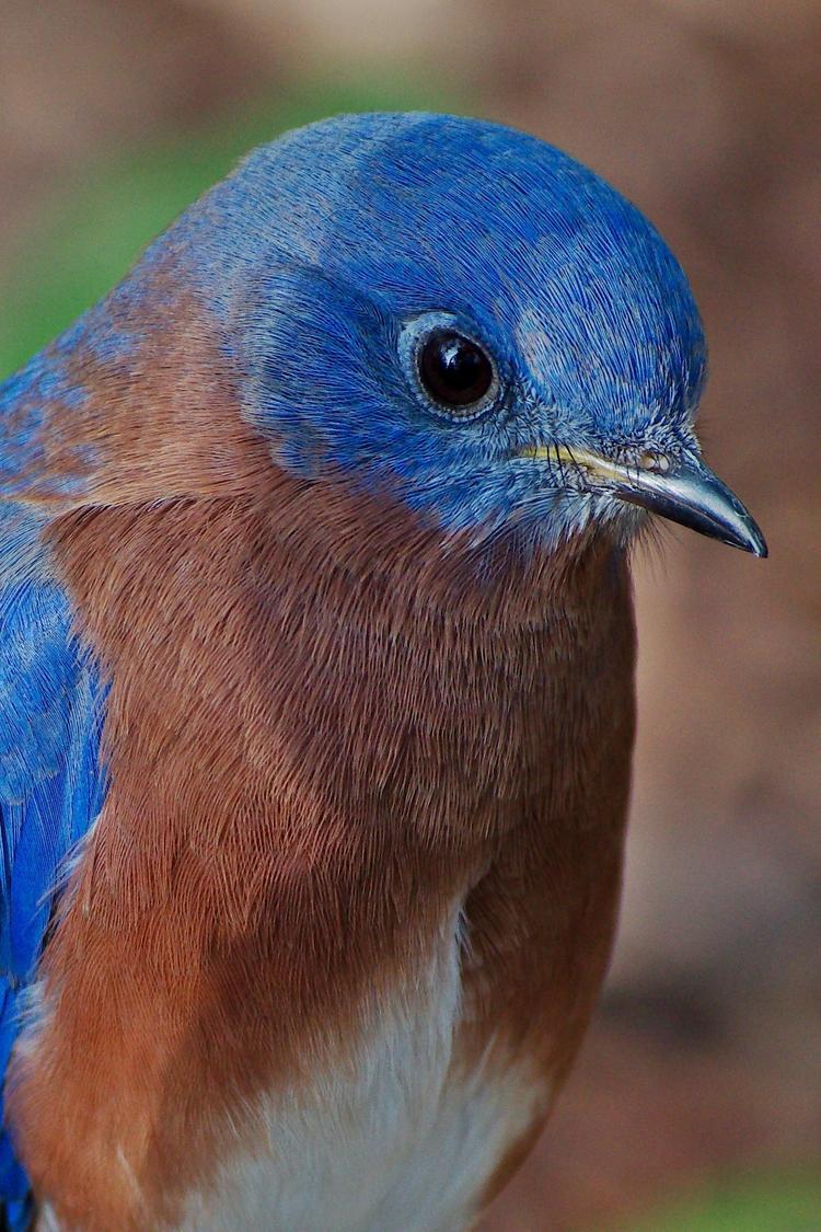 Eastern bluebird - birds, nature - chetkresiak | ello