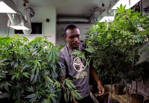 California releases long-awaite - ellocannabis | ello
