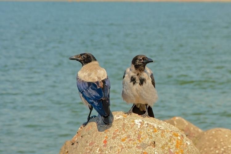 black hooded crows sitting rock - fotsirk | ello