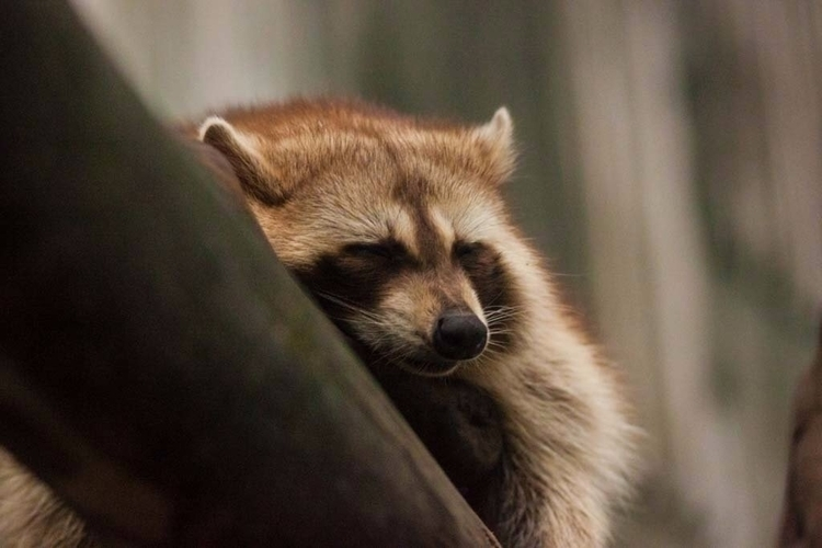 cozy raccoon - junwooson | ello