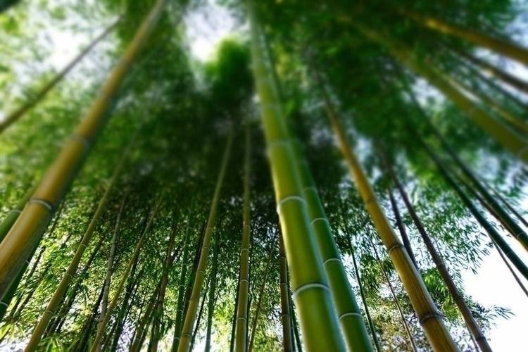 Bamboo Trees Hakone Gardens Sar - jennyfer_photography | ello
