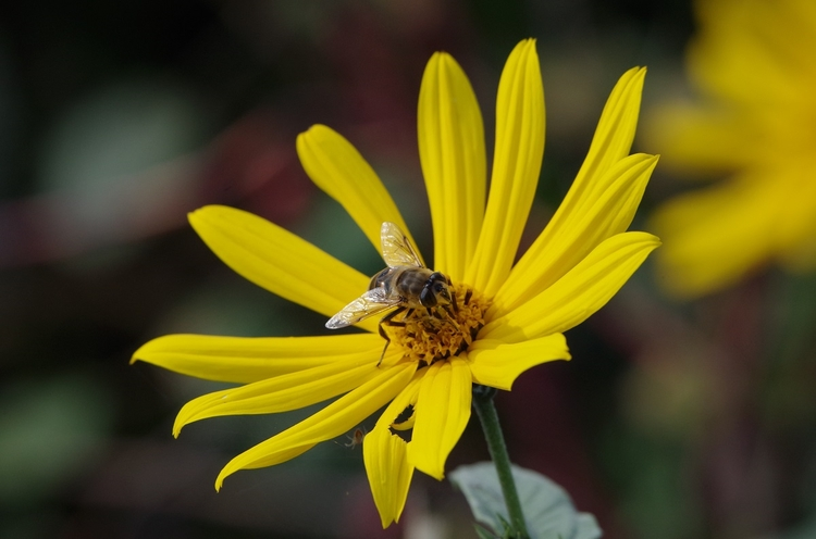 Fliege, Blume, macro - brummi | ello