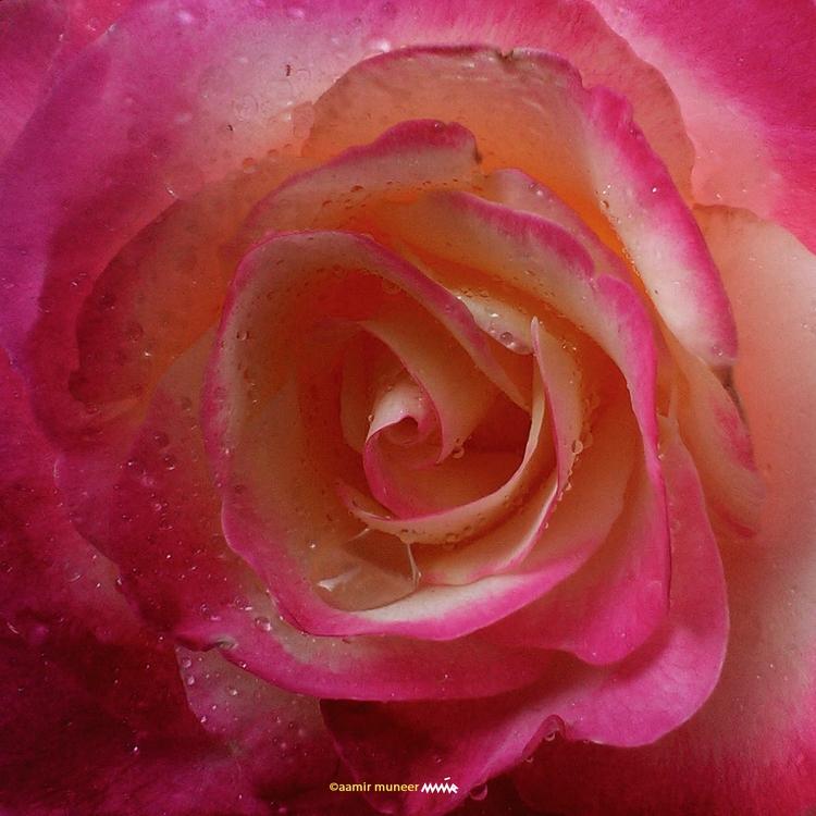 flower, rose, nature, photography - wizebunny | ello