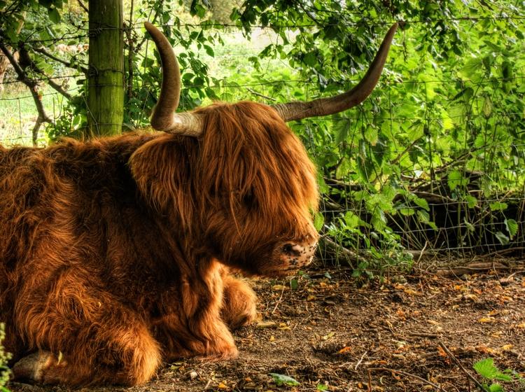 Highland Cow - highland cow coo - neilhoward | ello