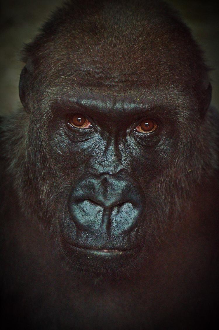 Eyes gorilla - animals, gorillas - chetkresiak | ello