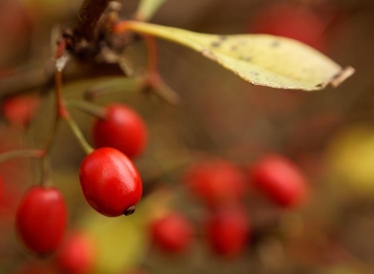 Fireberries - photography, macro - marcushammerschmitt | ello