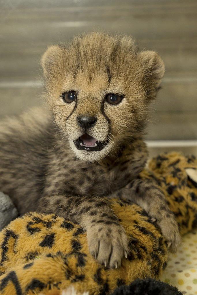 Cheetah Cub Arrives San Diego Z - red_wolf | ello